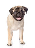 Pug puppy standing in front. isolated on white background.  Royalty Free Stock Photo