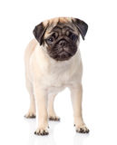 Pug puppy standing in front. isolated on white background.  Royalty Free Stock Image