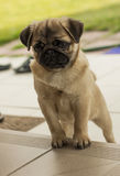 Pug puppy on steps Royalty Free Stock Photo