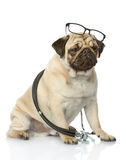 Pug puppy with a stethoscope on his neck. Stock Photos