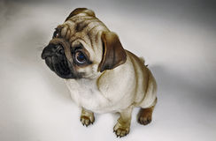 Pug puppy in the studio. Pug puppy, pure bread doggy Royalty Free Stock Images