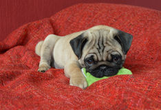 Pug puppy with toy. Pug puppy laying down with toy Royalty Free Stock Photo