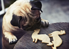 Pug puppy truing to get ferret shaped cookies Stock Photography