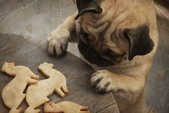 Pug puppy truing to get ferret shaped cookies Stock Photo