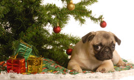 Pug puppy under christmas tree Stock Photo