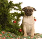 Pug puppy under christmas tree Royalty Free Stock Images