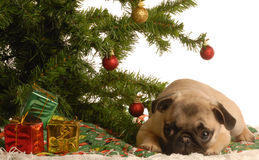 Pug puppy under christmas tree Stock Photography