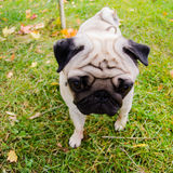 Pug puppy wandering in the garden Royalty Free Stock Photo