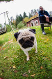 Pug puppy wandering in the garden. Playful pug puppy wandering in the garden- fisheye shot, man resting in the background Royalty Free Stock Photos