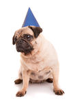 Pug Royalty Free Stock Photo