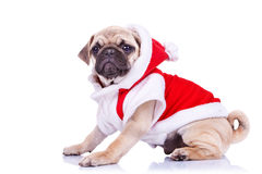 Pug puppy wearing a santa claus costume Stock Images