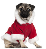 Pug puppy wearing Santa outfit, 6 months old Royalty Free Stock Image