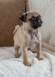 Pug Puppy. An 8 week old Pug puppy Royalty Free Stock Photos