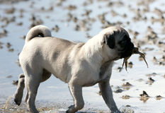 Pug Puppy With Crab In Mouth Stock Image
