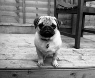 Pug Puppy Zwart-wit Decking Royalty-vrije Stock Fotografie