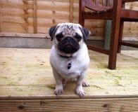 Pug Puppykleur Decking Royalty-vrije Stock Afbeeldingen