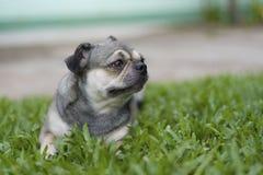 Pug puppyzitting op het gras Stock Afbeelding