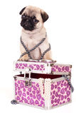 Pug purebred puppy Royalty Free Stock Photography
