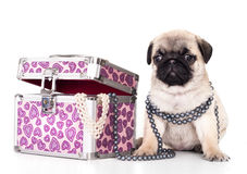 Pug purebred puppy Royalty Free Stock Image