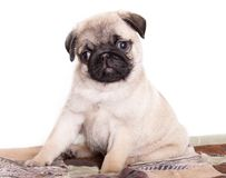 Pug purebred puppy Royalty Free Stock Photos