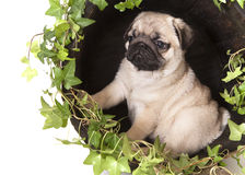 Pug purebred puppy, portrait Stock Image