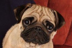 Pug que senta-se na frente do fundo vermelho. fotos de stock