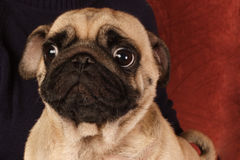 Pug que senta-se na frente do fundo vermelho. foto de stock