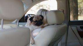 Pug que senta-se nas mãos da mulher no carro video estoque