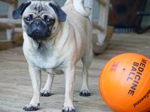Pug ready for some exercise!!! stock image