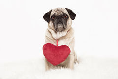 Pug with red heart Stock Photography