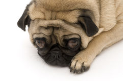 Pug Resting. Resting on Paw, isolated Royalty Free Stock Image
