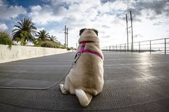 Pug road in the street royalty free stock photography