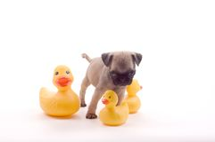 Pug with Rubber Ducks. A pug puppy wanders amid some rubber ducks.  Photographed on a white background Stock Image