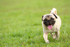 Pug running Royalty Free Stock Images