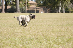 Pug Running at Dog Park Stock Images