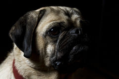 A pug's life - 1. A low key portrait of a pugalier Stock Image