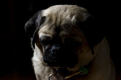 A pug's life - 4. A low key portrait of a pugalier Stock Image