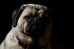 A pug's life - 5. A low key portrait of a pugalier Stock Photo