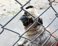 Pug sad behind cage Stock Photography