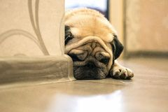 Pug. A sad dog is lying on the floor stock images