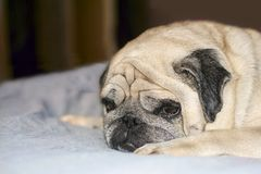 Pug. Sad dog lying on the couch royalty free stock image