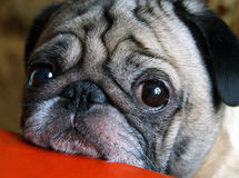 Pug with sad eyes sitting at the table Stock Photography