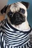 Pug in a sailor shirt. Sad little pug in a sailor shirt Royalty Free Stock Photography