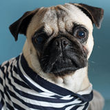 Pug in a sailor shirt. Sad little pug in a sailor shirt Royalty Free Stock Images
