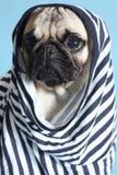 Pug in a sailor shirt. Sad little pug in a sailor shirt Stock Photos