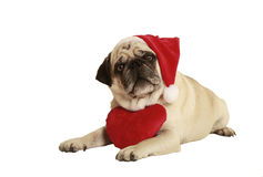 Pug santa claus cap heart. Pug in santa costume lying, exempted, white background, dressed as santa claus, wearing a plush heart around his neck Royalty Free Stock Photos