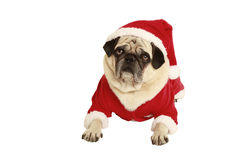 Pug in santa claus costume lying. Exempted, white background, dressed as santa claus Stock Photography