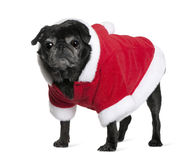 Pug in Santa coat, 10 years old Royalty Free Stock Image
