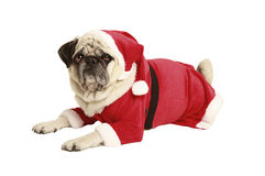 Pug in santa costume lies and looks. Exempted, white background, dressed as santa claus, cutout Royalty Free Stock Image