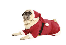 Pug in santa costume lying. Exempted, white background, dressed as santa claus Stock Photography